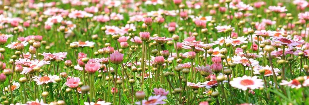 Foto van een groot bloemenveld